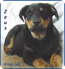 australian shepherd lab mix puppy zeus adopted puppy baby lab foxhound aussie mix marlborough
