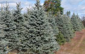 blue spruce wholesale christmas trees