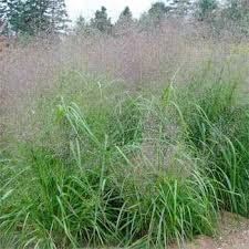 grass seed sand lovegrass ornamental grass seeds