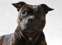 america pit bull terrier club the staffordshire bull terrier from fast fighting dog to family