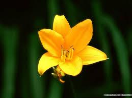 yellow lilies a yellow flower wallpaper 11 wallcoo net