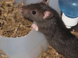 rat proofing in saline archive michigan rat removal professionals