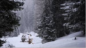 snow falling on fir trees plant nature photos franz s