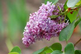 lilac flowers image result for http www alegriphotos images lilac