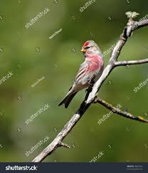 Muted Green by Common Redpoll Bird Male Bright Red Stock Photo 98632754
