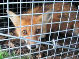 caught fox in live trap page 2 backyard chickens