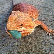 bearded dragon sampler pack rainbow mealworms