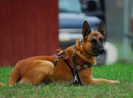 lifespan of belgian shepherd belgian malinois pictures dog breeds puppies character of