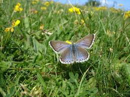 butterfly conservation adonis blue
