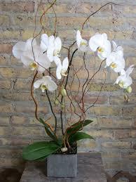 orchid plants city blooms chicago florist phalaenopsis cymbidium orchid plant