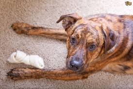 Why Do Dogs Lick The Sofa Why Do Dogs Rub Their Faces On The Carpet Or Furniture Pets4homes