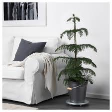 araucaria potted plant norfolk island pine 17 cm ikea