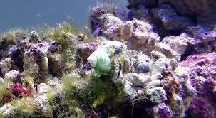 hermit crabs distributing eggs marine reef tank youtube