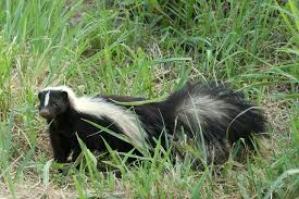 how to not remove a skunk in ur back yard canadian teenagers