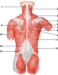 Anatomy Of Human Back Muscles Back Muscles Human Anatomy