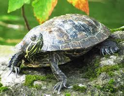 Texas Map Turtle Turtle Faqs All Turtles