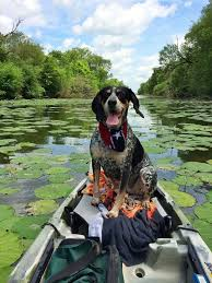 bluetick coonhound apparel 42 best blueticks images on pinterest bluetick coonhound hound