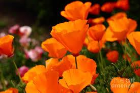 California Poppy Orange California Poppy 7d14755 Photograph By Wingsdomain Art