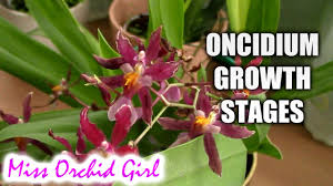 oncidium orchid growth stages of oncidium orchids