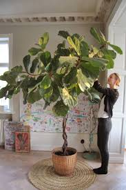 ficus lyrata malin persson elle decoration plants and living