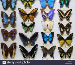 florence italy colouful display of butterflies at la specola