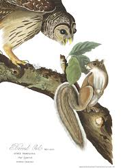 barred owl john james audubon u0027s birds of america