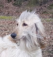 afghan hound therapy dog if this happened to your new puppy what would you do