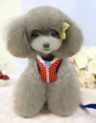 different styles of hair cuts for poodles 125 best poodles images on pinterest doggies poodles and poodle cuts