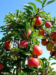 Planting Fruit Trees In Backyard 19 Best Apple Trees Images On Pinterest Apple Tree Apples And