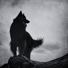 belgian sheepdog alberta her pretty face pretty face dire wolf and wolf