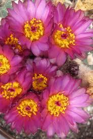 91 besten notocactus bilder auf sukkulenten blumen