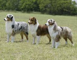 is an australian shepherd smart saved by dogs shepherding collies a collie by another name
