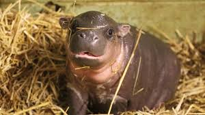 Baby Hippo Meme - let s take a moment to appreciate baby hippos album on imgur