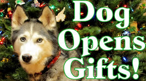 dog opening christmas presents siberian husky opens gifts youtube