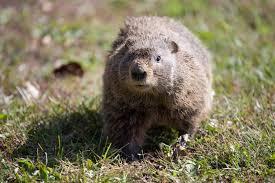 groundhog control missouri department conservation