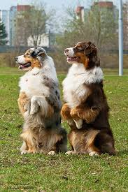 australian shepherd upkeep 22 best dog advice images on pinterest city guides your dog and