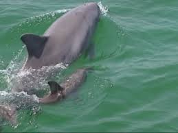 Male Dolphin Anatomy Education On Dolphins And On How To Swim With Wild Dolphins