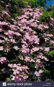 ornamental climber clematis montana climbing through a large