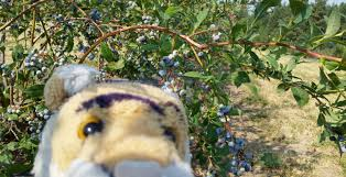 plant blue days ahead awesome blueberry plants blueberry plants