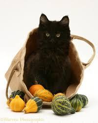 halloween kittens black maine coon kitten with halloween pumpkin photo wp30495