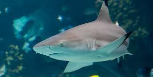 blacktip reef shark bite research