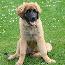 is a bluetick coonhound a good pet leonberger dog breed information pictures characteristics