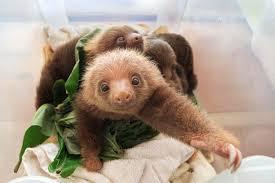 4 toed sloth hoffmanns two toed sloth choloepus photograph by suzi eszterhas