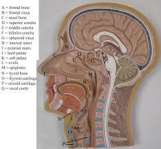 cross section of a sheep head saggital cross section human