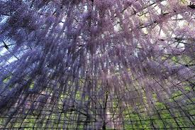 Trellis For Wisteria Enchanted With A Sweet Scent Of Vivid Flowers Trellis Of Wisteria