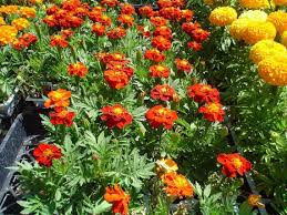 marigolds play large and fragrant role during day of the dead