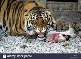 bengal tiger with bloody calf s leg snarls at stock