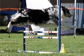 australian shepherd agility welcome to flickr