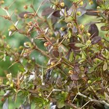 Bells Of Ireland Flower Bells Of Ireland Moluccella Laevis 1 Pack Of Seeds Buy Online