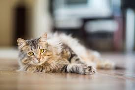 the hows and whys of a natural raw food diet for cats what you should know before switching your cat to a raw food diet